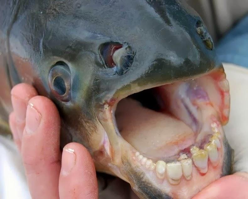 Rüyada Pirana Balığı Görmek Ne Anlama Gelir