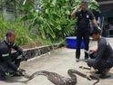 Dev piton yılanının ağzında gördü...