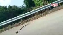 Yavrusunu kurtarmak için yılana saldıran fare!
